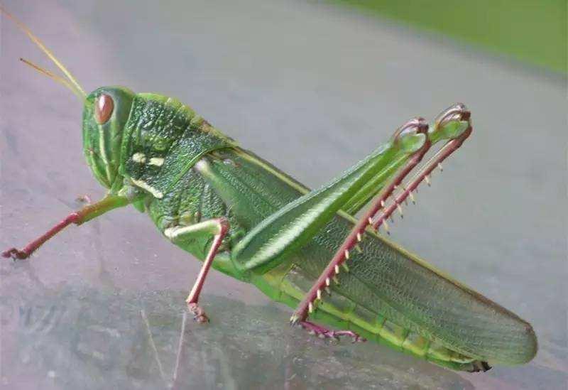 蝗虫要怎么吃