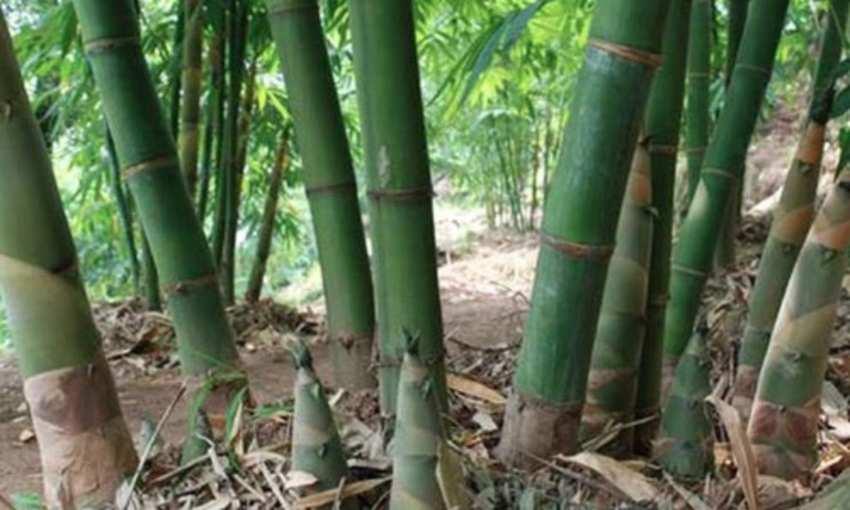 麻竹和山竹的区别是什么