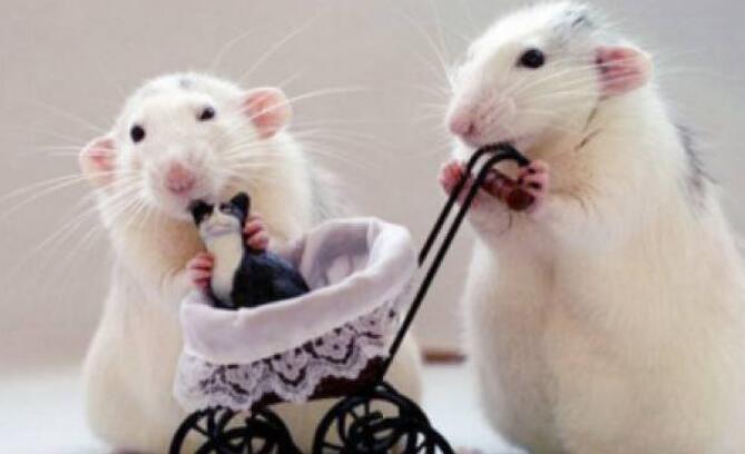 团鼠会变色吗