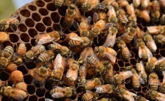 夏天可以人工分蜂吗