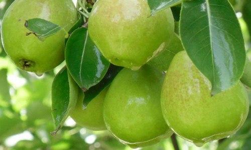 香梨常温下能保存多久