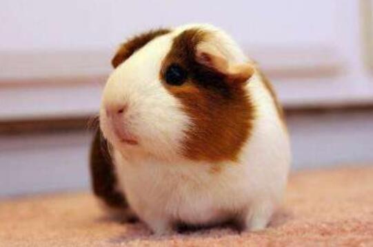 荷兰猪喜欢吃什么食物